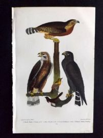 Alexander Wilson 1877 Bird Print. Black Hawk, Variety Of Do, Red Shouldered